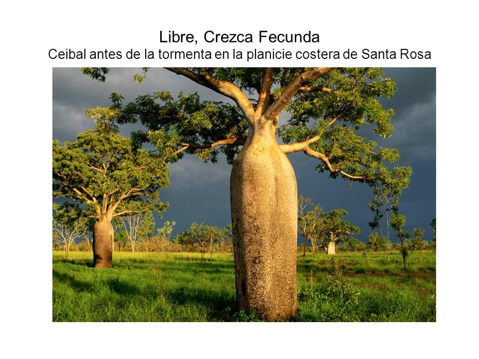 Libre, Crezca Fecunda Ceibal antes de la tormenta en la planicie costera de Santa Rosa