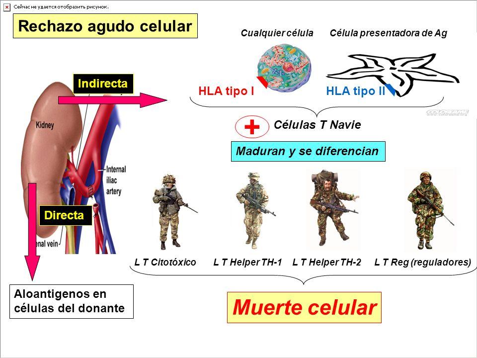 Directa Aloantigenos en células del donante Indirecta Célula presentadora de Ag HLA tipo I Rechazo agudo celular Cualquier célula HLA tipo II Células