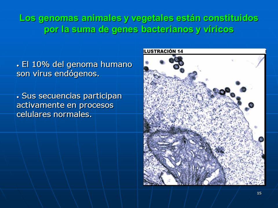 15 El 10% del genoma humano son virus endógenos. El 10% del genoma humano son virus endógenos. Sus secuencias participan activamente en procesos celul
