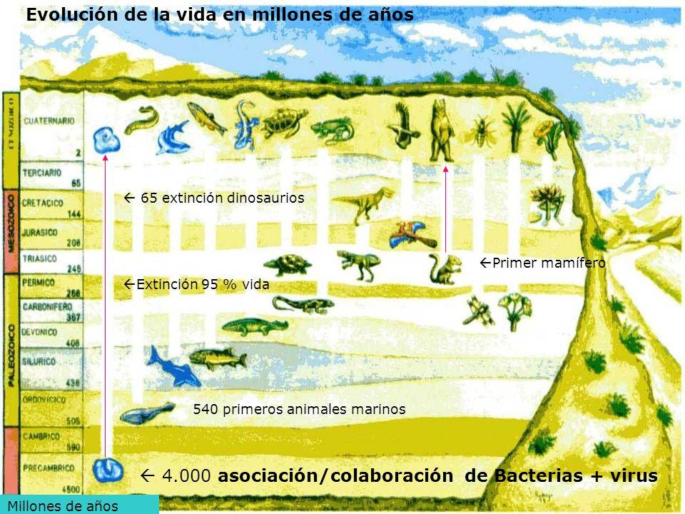 5 Millones de años 4.000 asociación/colaboración de Bacterias + virus Evolución de la vida en millones de años 540 primeros animales marinos Extinción