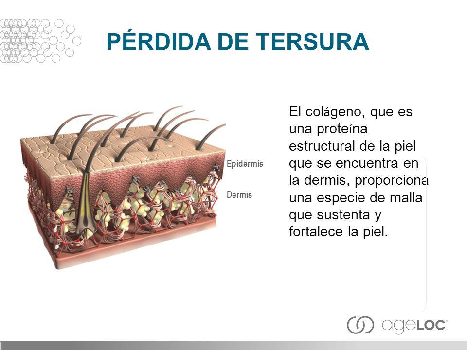 El col á geno, que es una prote í na estructural de la piel que se encuentra en la dermis, proporciona una especie de malla que sustenta y fortalece l