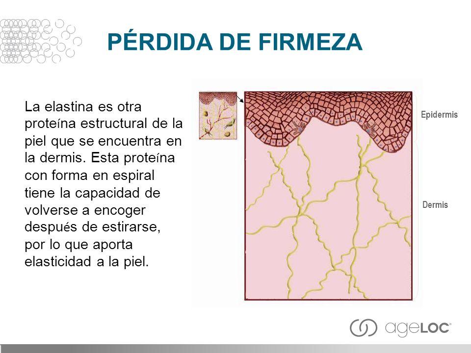 La elastina es otra prote í na estructural de la piel que se encuentra en la dermis. Esta prote í na con forma en espiral tiene la capacidad de volver