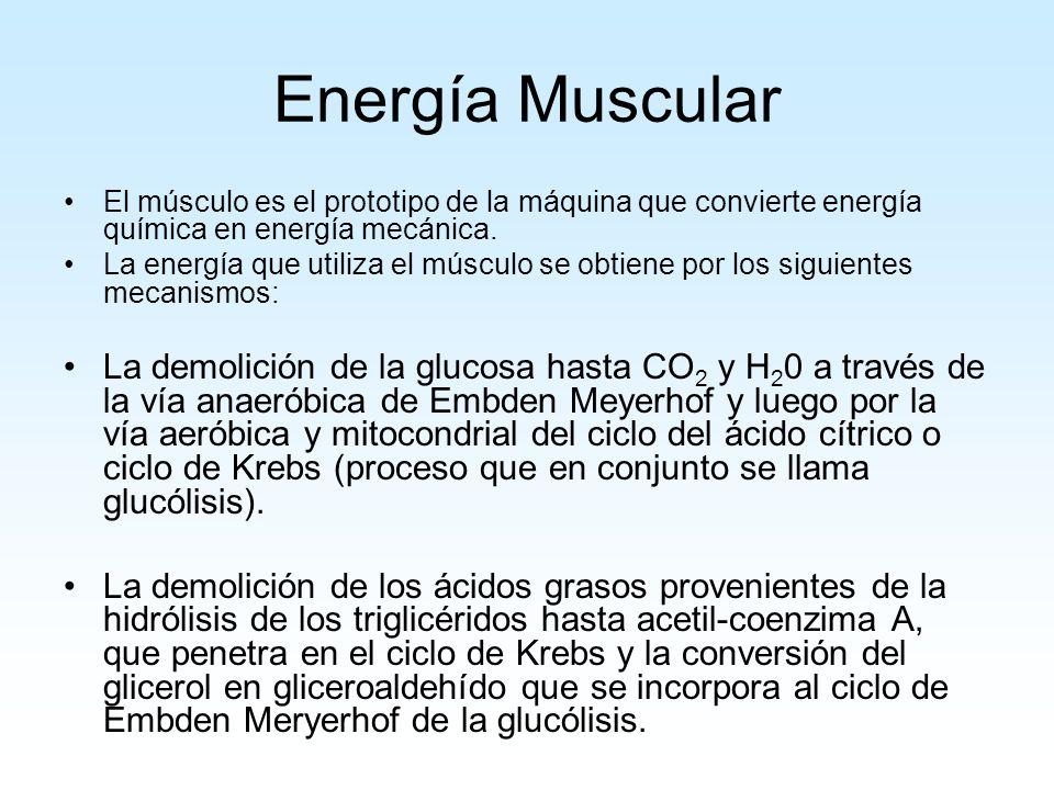 El músculo es el prototipo de la máquina que convierte energía química en energía mecánica.