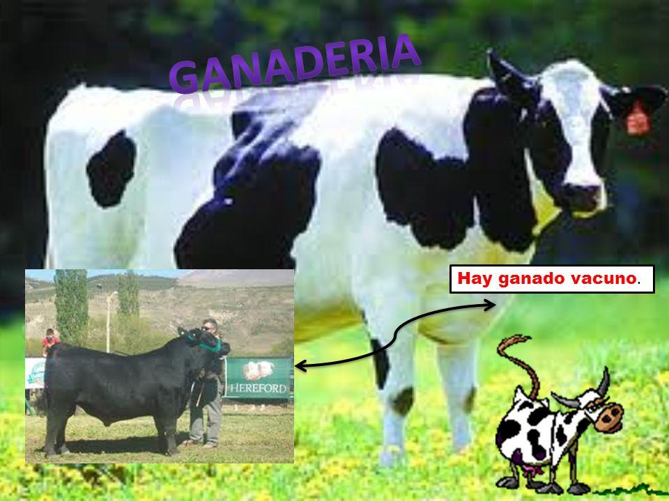 Hay ganado vacuno.