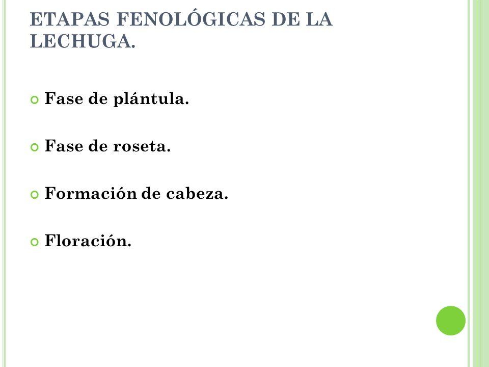 ETAPAS FENOLÓGICAS DE LA LECHUGA. Fase de plántula. Fase de roseta. Formación de cabeza. Floración.