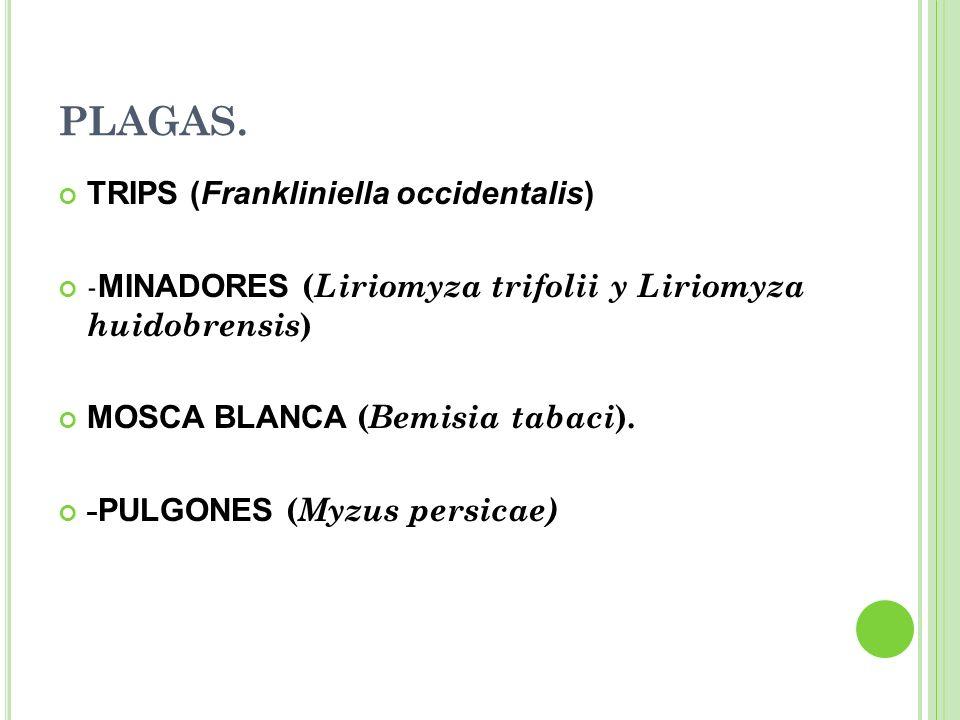 PLAGAS. TRIPS (Frankliniella occidentalis) - MINADORES ( Liriomyza trifolii y Liriomyza huidobrensis ) MOSCA BLANCA ( Bemisia tabaci ). - PULGONES ( M