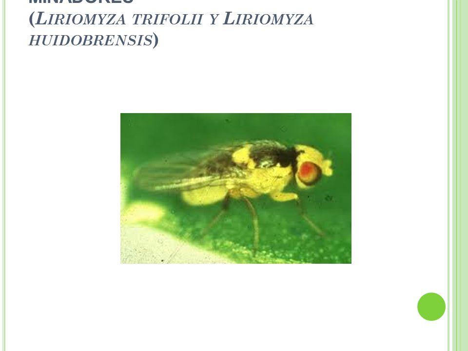 - MINADORES ( L IRIOMYZA TRIFOLII Y L IRIOMYZA HUIDOBRENSIS )