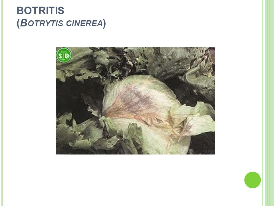 BOTRITIS (B OTRYTIS CINEREA )