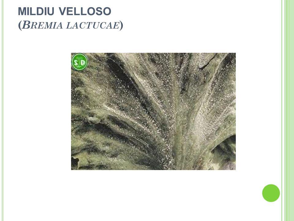 MILDIU VELLOSO ( B REMIA LACTUCAE )