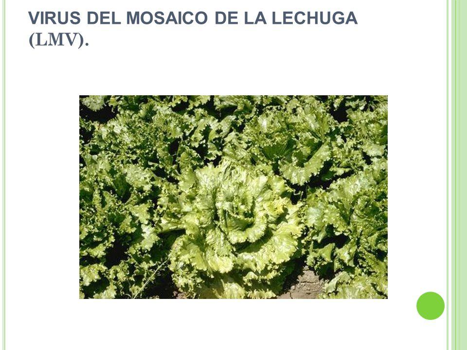 VIRUS DEL MOSAICO DE LA LECHUGA (LMV).