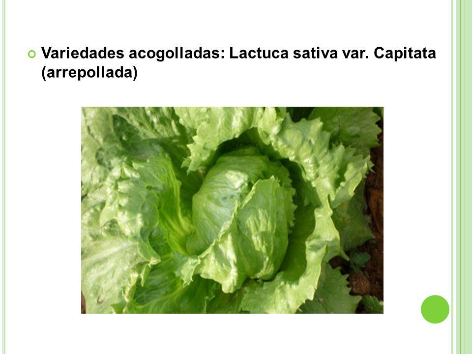 Variedades acogolladas: Lactuca sativa var. Capitata (arrepollada)