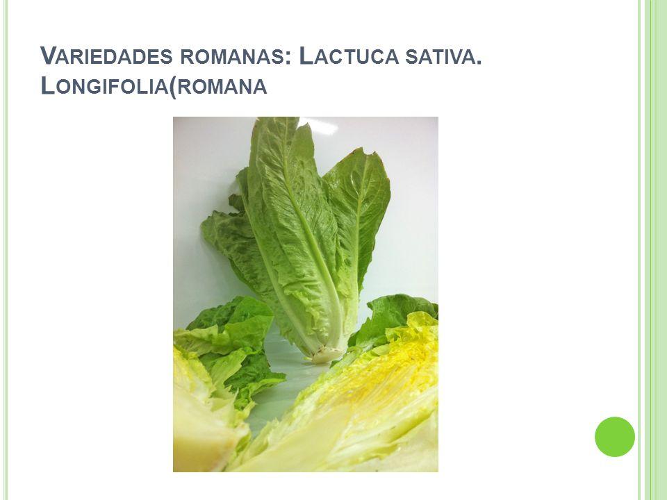 V ARIEDADES ROMANAS : L ACTUCA SATIVA. L ONGIFOLIA ( ROMANA