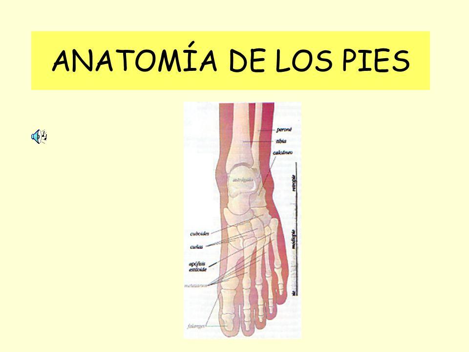 ANATOMÍA DE LOS PIES