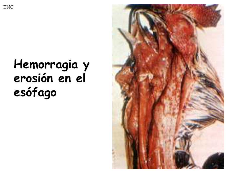 Hemorragia en la mucosa de la tráquea de un pollo ENC