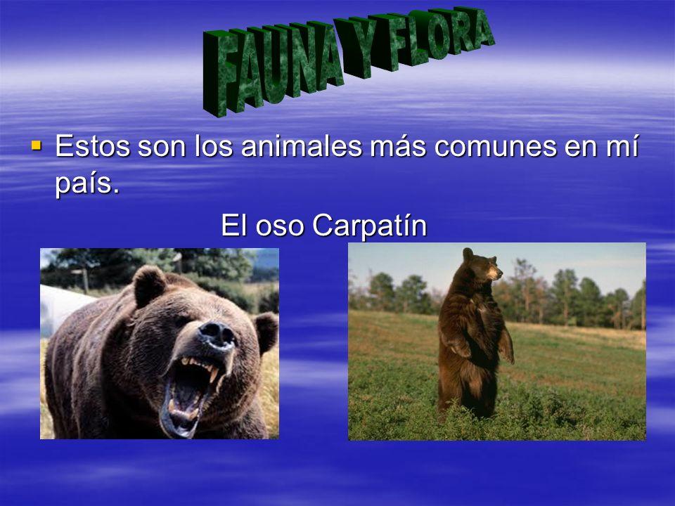Estos son los animales más comunes en mí país. Estos son los animales más comunes en mí país. El oso Carpatín El oso Carpatín