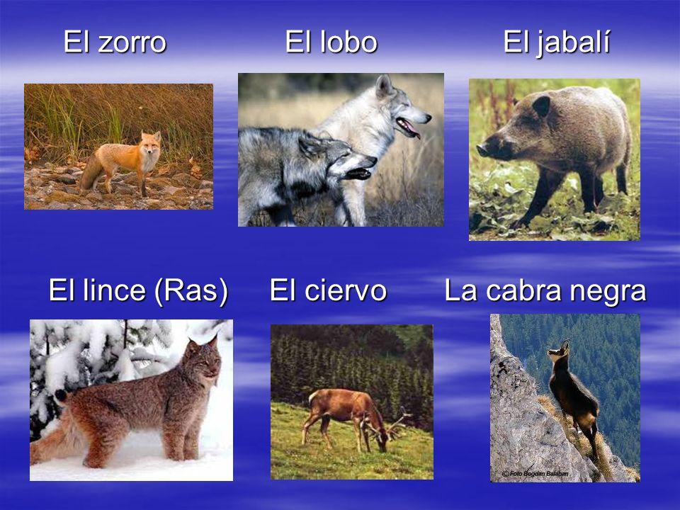 El zorro El lobo El jabalí El zorro El lobo El jabalí El lince (Ras) El ciervo La cabra negra El lince (Ras) El ciervo La cabra negra