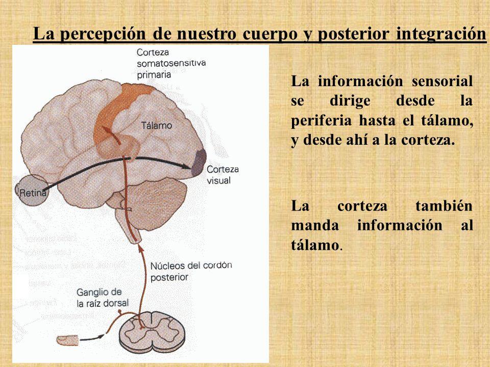 La información sensorial se dirige desde la periferia hasta el tálamo, y desde ahí a la corteza. La corteza también manda información al tálamo. La pe