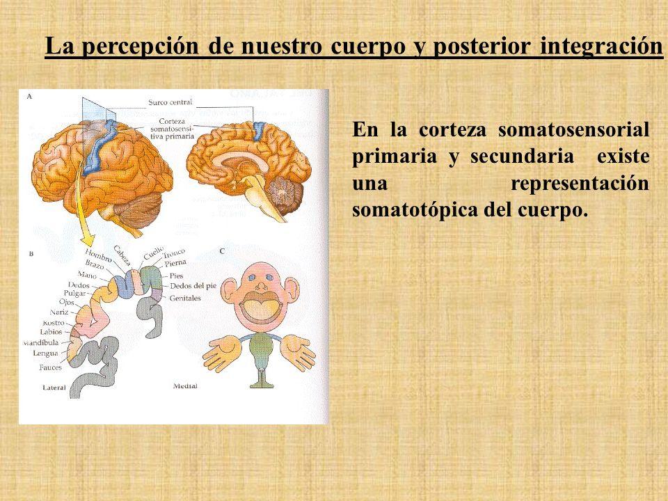 En la corteza somatosensorial primaria y secundaria existe una representación somatotópica del cuerpo. La percepción de nuestro cuerpo y posterior int