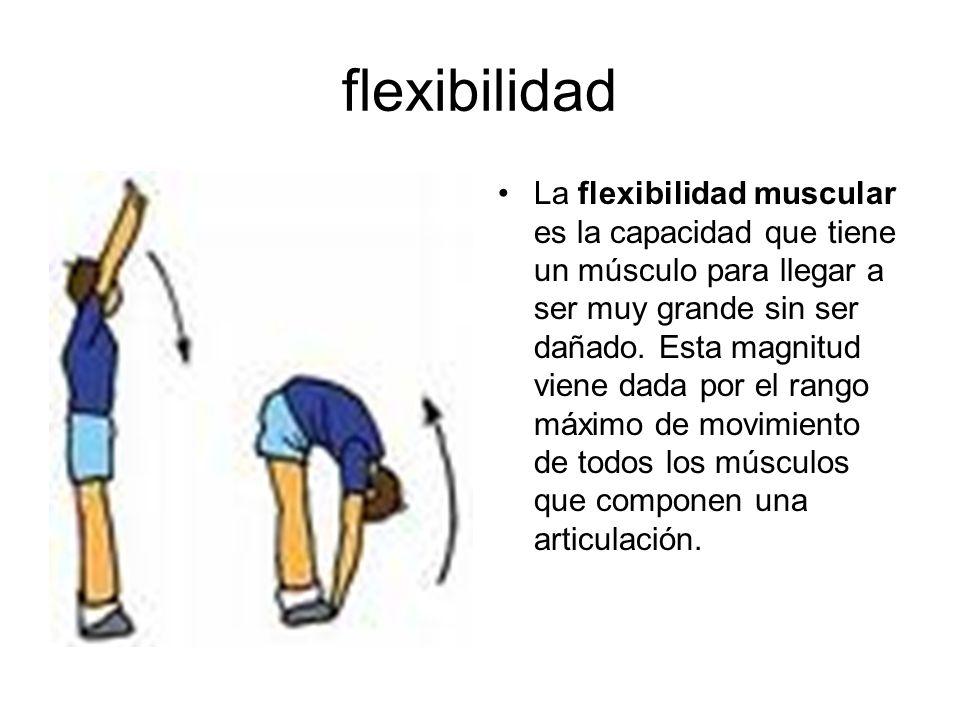 flexibilidad La flexibilidad muscular es la capacidad que tiene un músculo para llegar a ser muy grande sin ser dañado. Esta magnitud viene dada por e