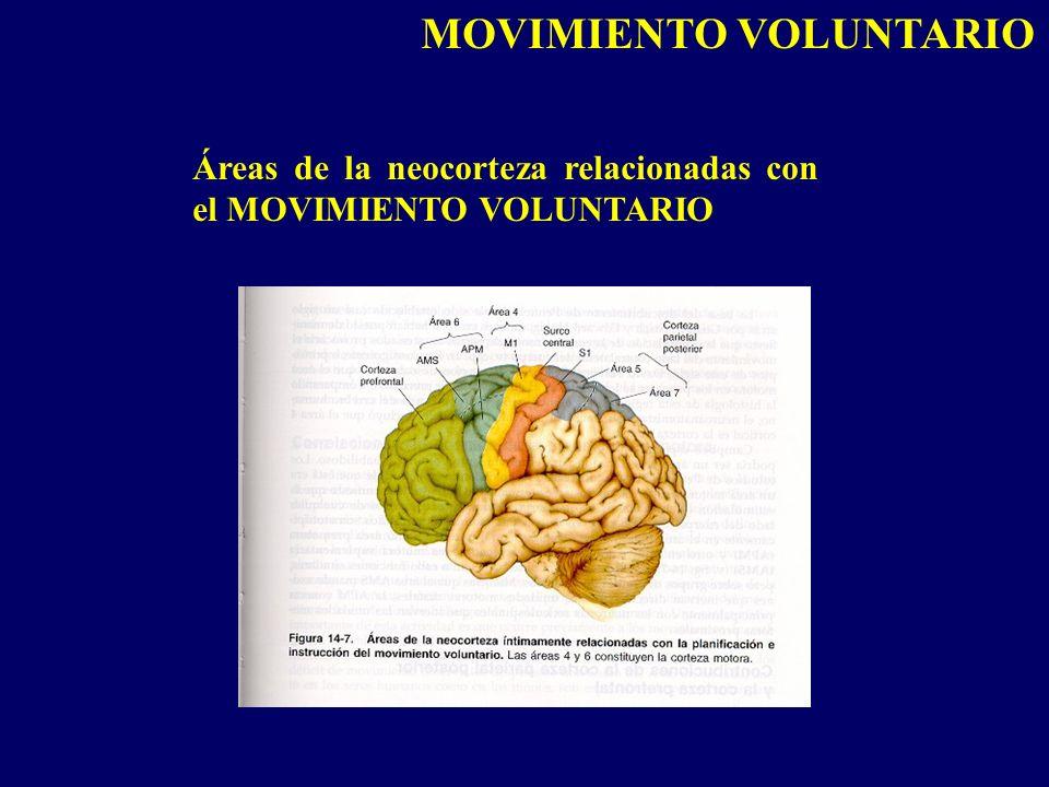 Áreas de la neocorteza relacionadas con el MOVIMIENTO VOLUNTARIO MOVIMIENTO VOLUNTARIO