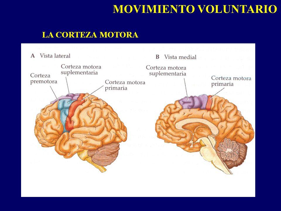 MOVIMIENTO VOLUNTARIO LA CORTEZA MOTORA