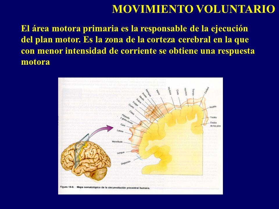 El área motora primaria es la responsable de la ejecución del plan motor. Es la zona de la corteza cerebral en la que con menor intensidad de corrient