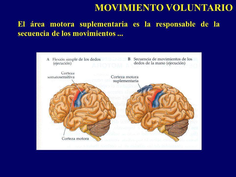 El área motora suplementaria es la responsable de la secuencia de los movimientos... MOVIMIENTO VOLUNTARIO