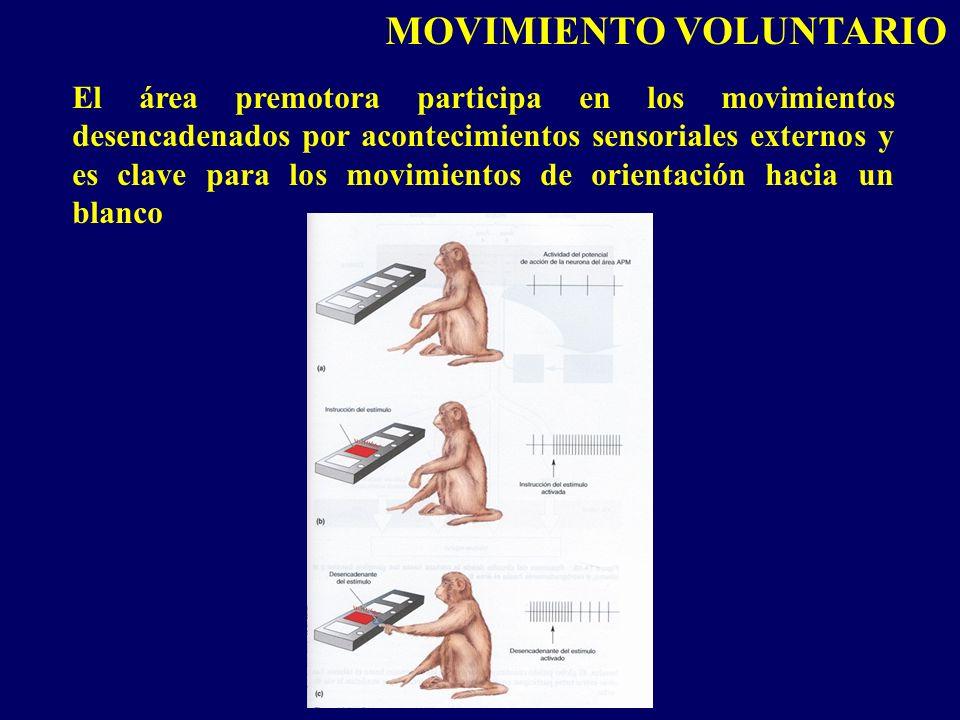 El área premotora participa en los movimientos desencadenados por acontecimientos sensoriales externos y es clave para los movimientos de orientación