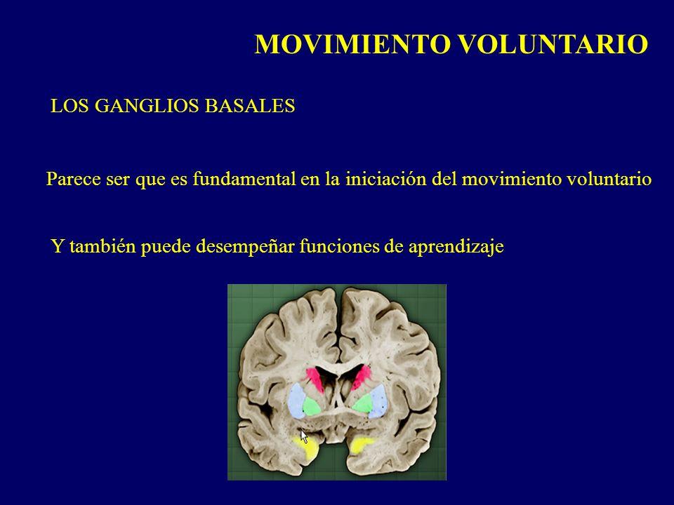 MOVIMIENTO VOLUNTARIO LOS GANGLIOS BASALES Parece ser que es fundamental en la iniciación del movimiento voluntario Y también puede desempeñar funcion