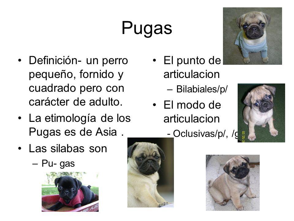 Pugas Definición- un perro pequeño, fornido y cuadrado pero con carácter de adulto.