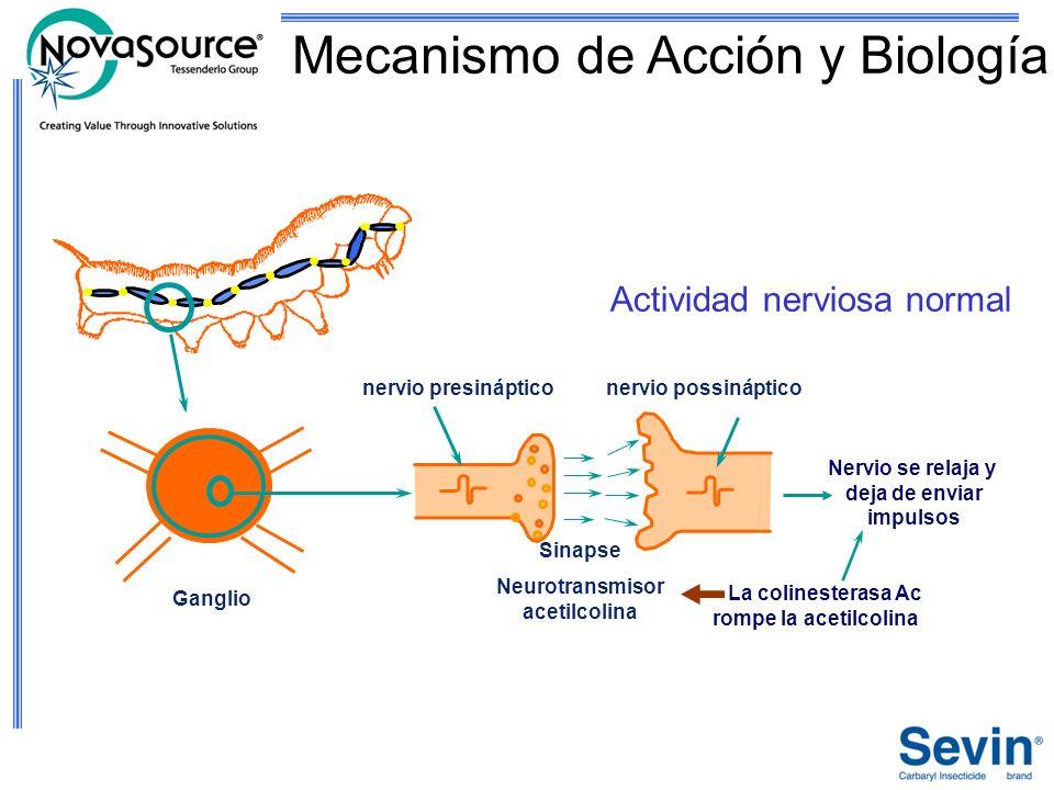 Ganglio Sinapse Neurotransmisor acetilcolina nervio presinápticonervio possináptico Actividad nerviosa normal La colinesterasa Ac rompe la acetilcolin