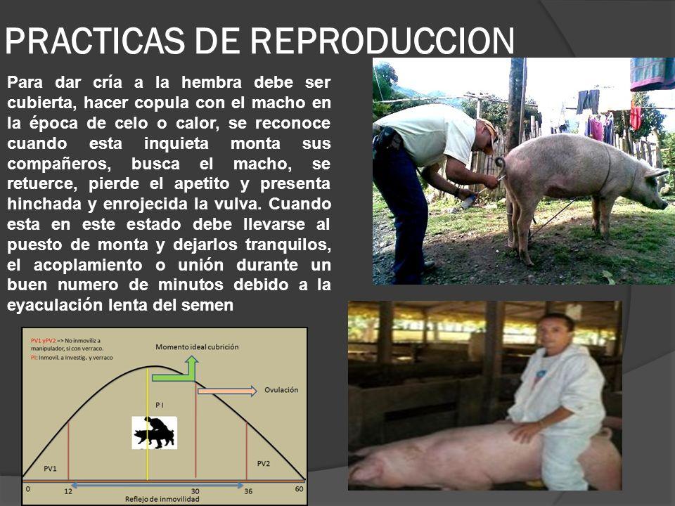 Para asegurar la fecundación pasadas 10 horas del acoplamiento, debe volverse a llevar a la hembra a la celda del reproductor.