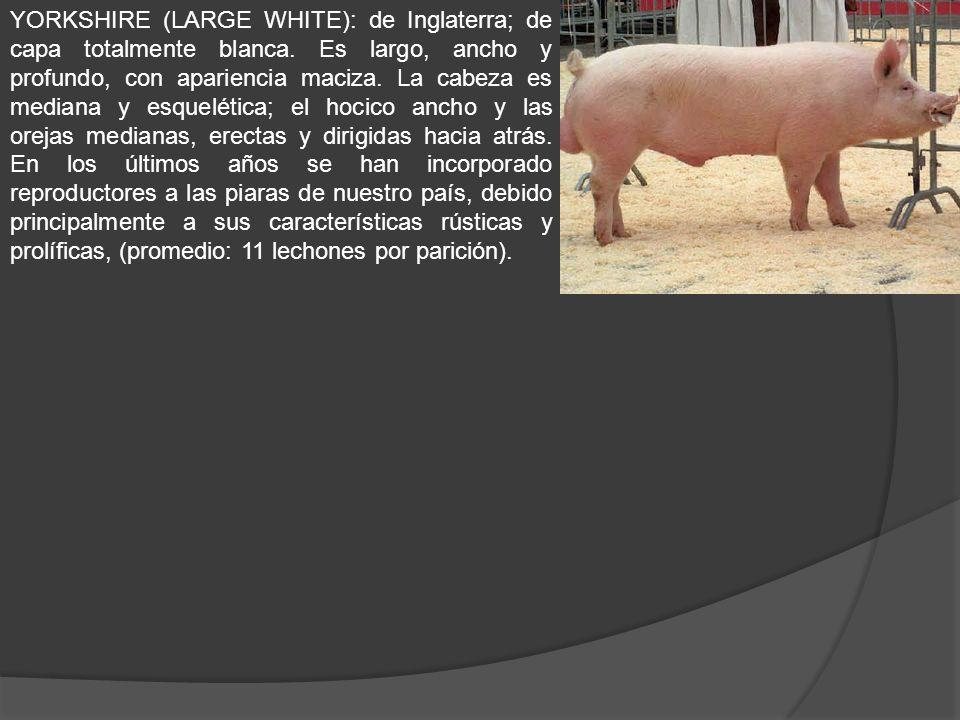Cólera porcino o peste porcina clasica Enfermedad viral altamente contagiosa del cerdo.