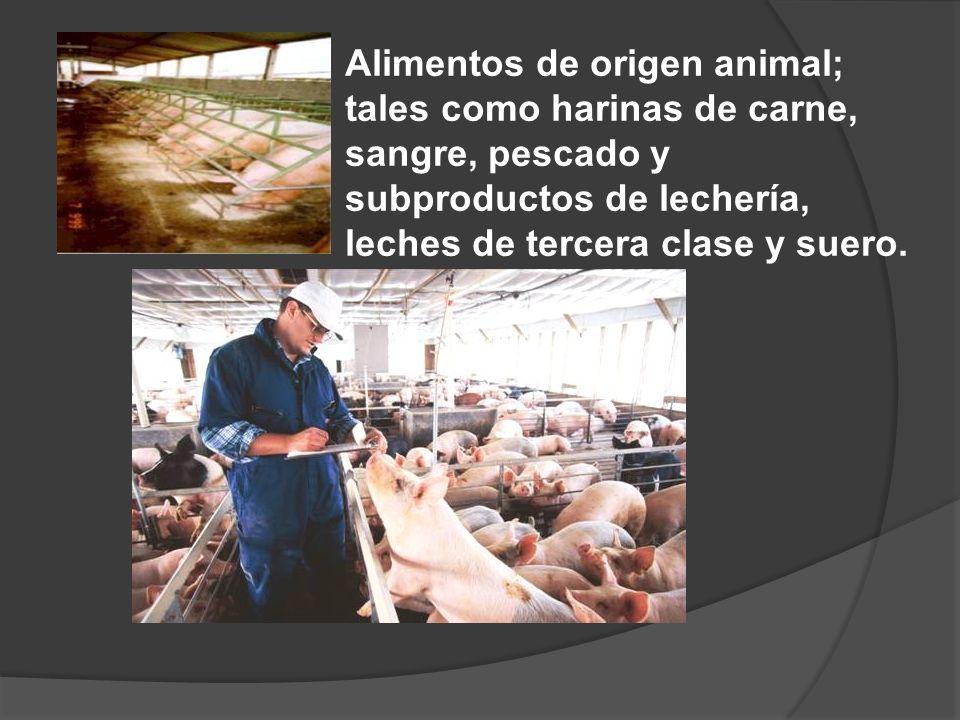 SISTEMAS DE EXPLOTACION EXTENSIVOS de 1 a 5 cerdos Viven sueltos o dentro de un gran corral Comederos y bebederos rústicos Se les alimenta con desperdicios, sobrantes de cocina o desechos de granos.