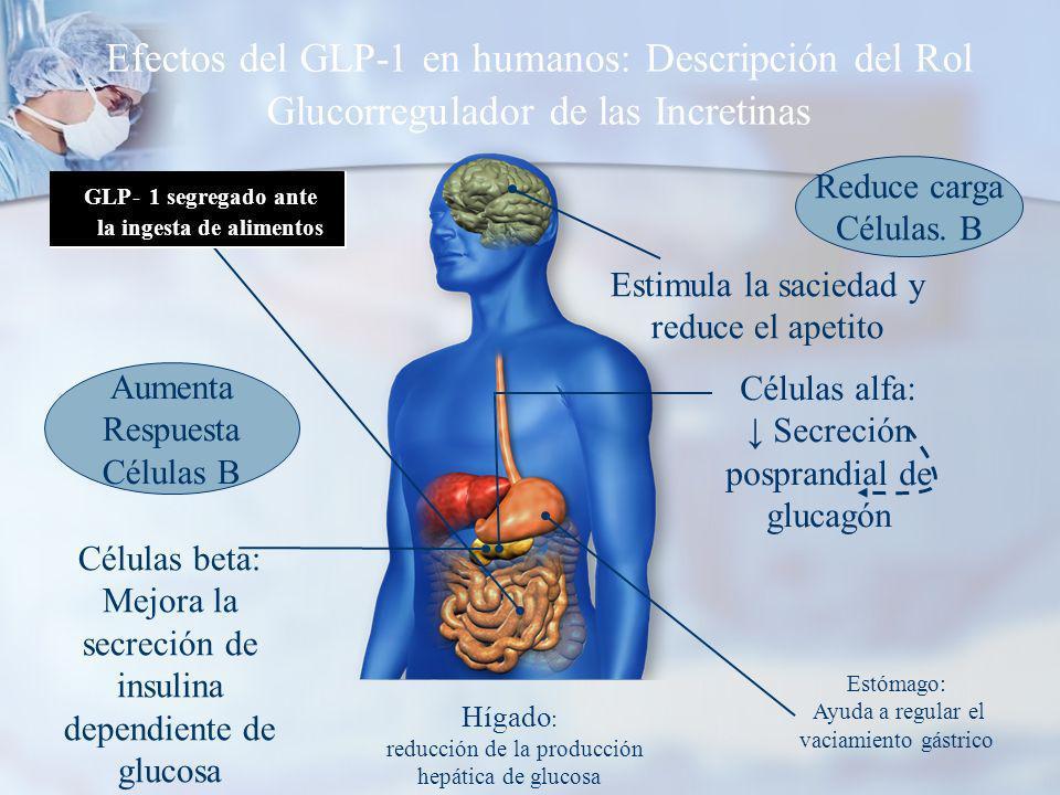 Efectos del GLP-1 en humanos: Descripción del Rol Glucorregulador de las Incretinas Estimula la saciedad y reduce el apetito Células beta: Mejora la secreción de insulina dependiente de glucosa Hígado : reducción de la producción hepática de glucosa Células alfa: Secreción posprandial de glucagón Estómago: Ayuda a regular el vaciamiento gástrico GLP- 1 segregado ante la ingesta de alimentos Reduce carga Células.