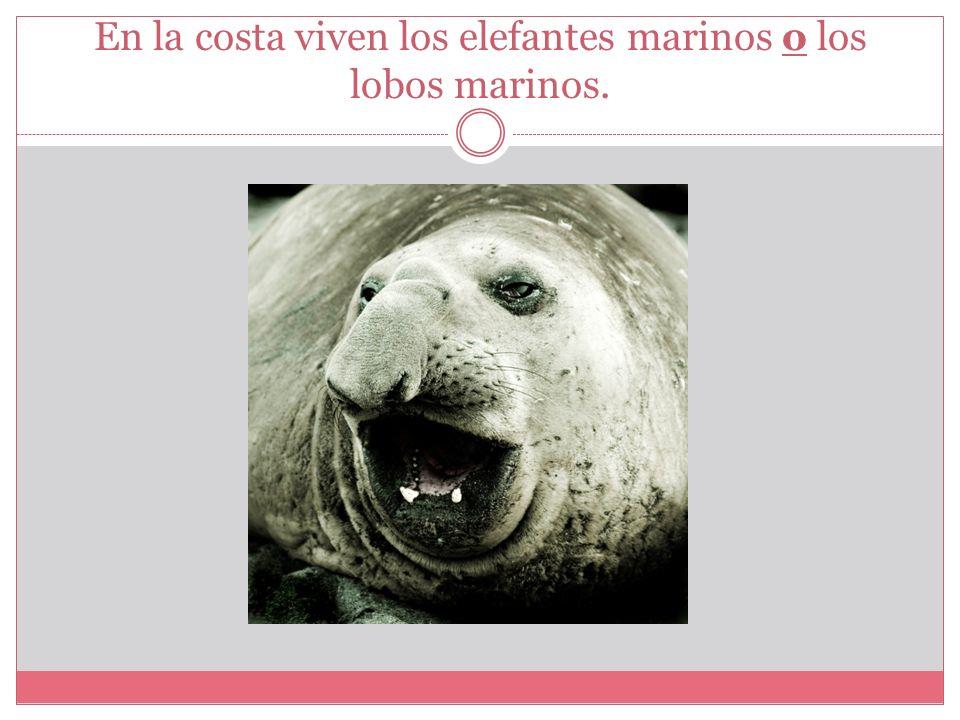 En la costa viven los elefantes marinos o los lobos marinos.