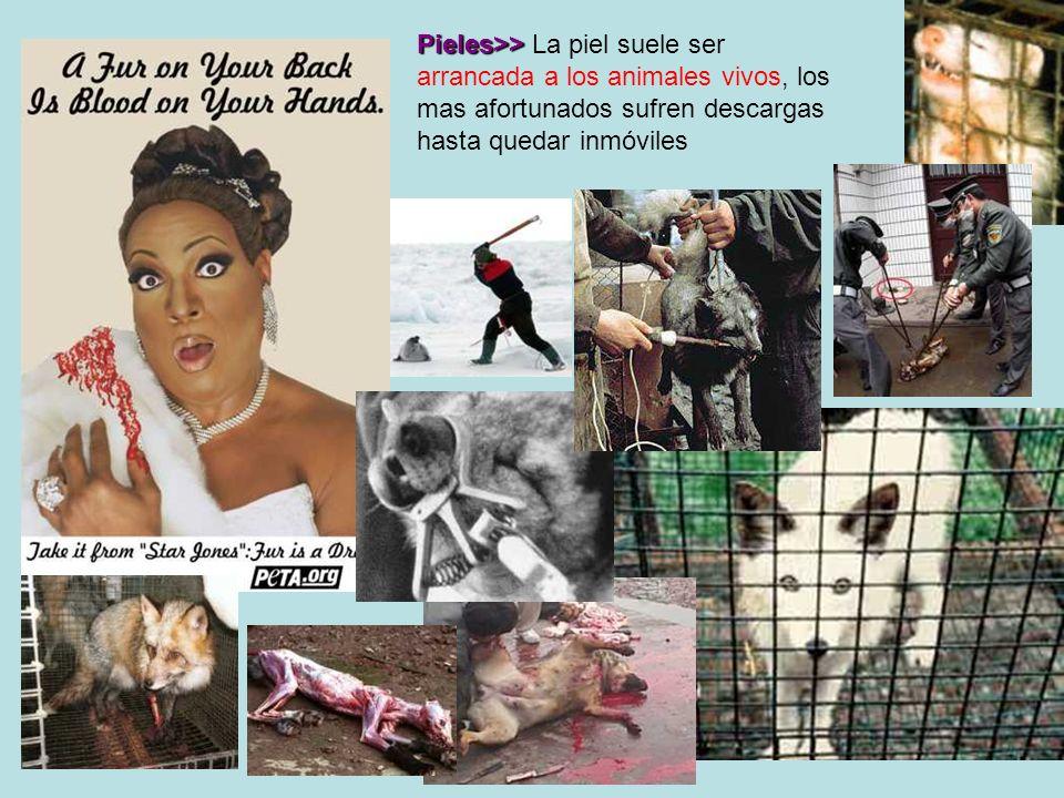Pieles>> Pieles>> La piel suele ser arrancada a los animales vivos, los mas afortunados sufren descargas hasta quedar inmóviles