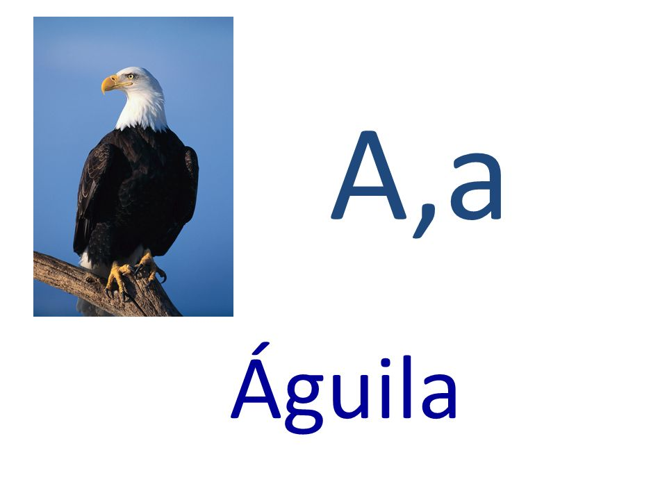 A,a Águila