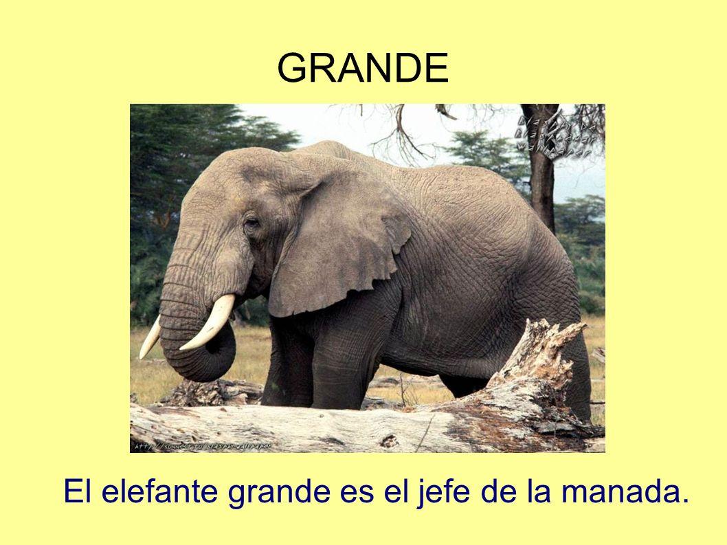 GRANDE El elefante grande es el jefe de la manada.