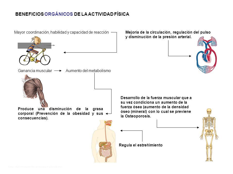 Fuente: http://www.monografias.com/trabajos11/acfis/acfis.shtml Desarrollo de la fuerza muscular que a su vez condiciona un aumento de la fuerza ósea