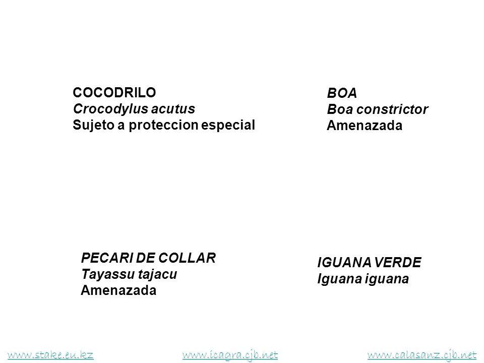COCODRILO Crocodylus acutus Sujeto a proteccion especial BOA Boa constrictor Amenazada PECARI DE COLLAR Tayassu tajacu Amenazada IGUANA VERDE Iguana i