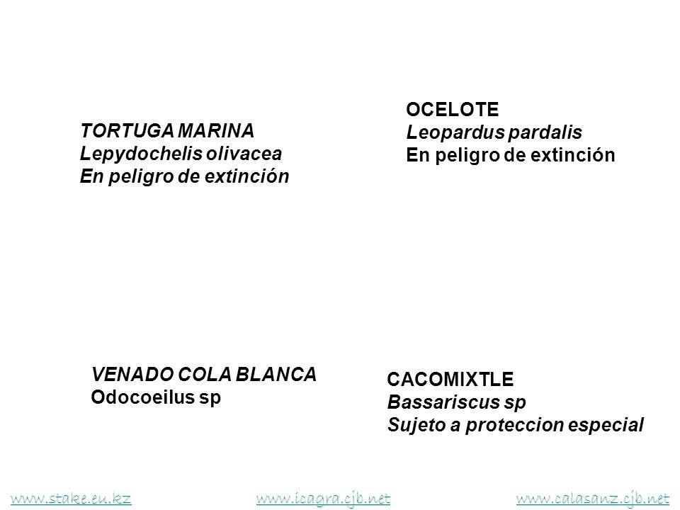 TORTUGA MARINA Lepydochelis olivacea En peligro de extinción VENADO COLA BLANCA Odocoeilus sp OCELOTE Leopardus pardalis En peligro de extinción CACOM