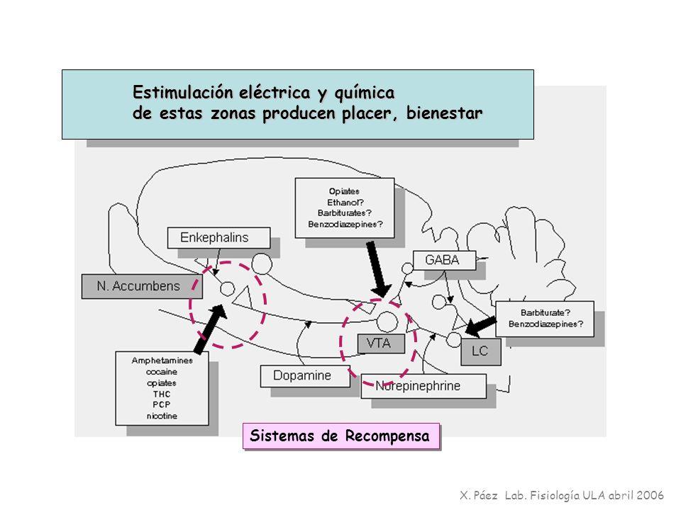 X. Páez Lab. Fisiología ULA abril 2006 Sistemas de Recompensa Estimulación eléctrica y química de estas zonas producen placer, bienestar