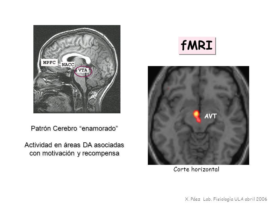 fMRIfMRI Patrón Cerebro enamorado Actividad en áreas DA asociadas con motivación y recompensa AVT X. Páez Lab. Fisiología ULA abril 2006 Corte horizon