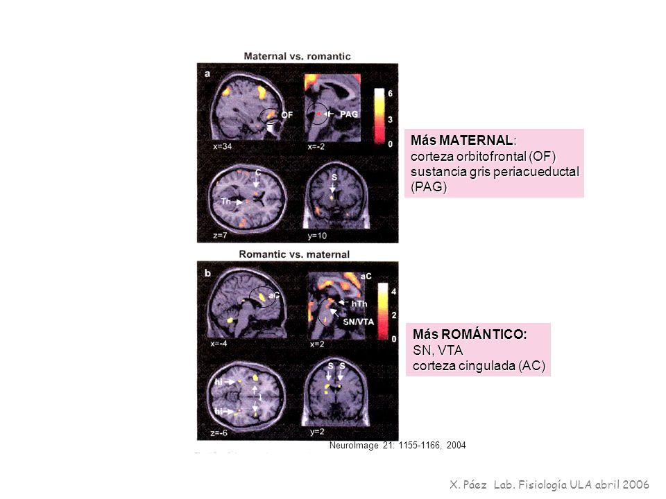 X. Páez Lab. Fisiología ULA abril 2006 NeuroImage 21: 1155-1166, 2004 Más MATERNAL: corteza orbitofrontal (OF) sustancia gris periacueductal (PAG) Más