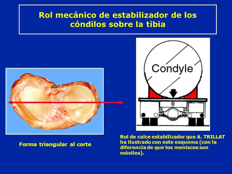 Rol mecánico de estabilizador de los cóndilos sobre la tibia Forma triangular al corte Rol de calce estabilizador que A. TRILLAT ha ilustrado con este