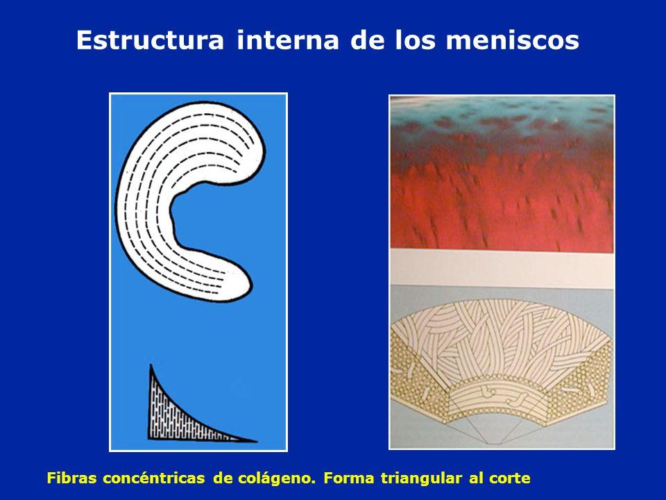 Estructura interna de los meniscos Fibras concéntricas de colágeno. Forma triangular al corte