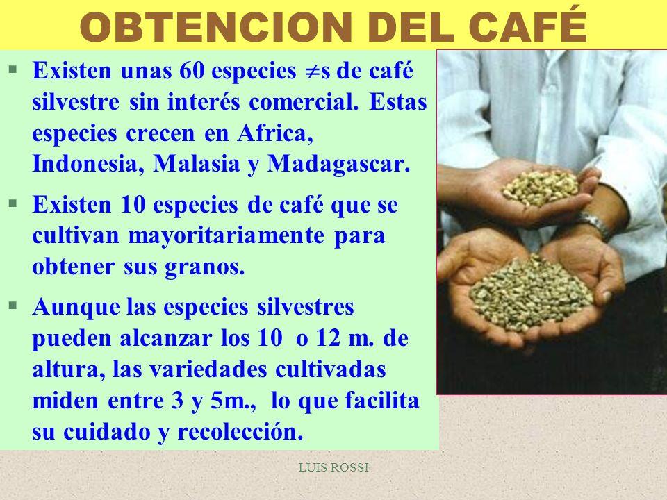 LUIS ROSSI OBTENCION DEL CAFÉ §Existen unas 60 especies s de café silvestre sin interés comercial. Estas especies crecen en Africa, Indonesia, Malasia
