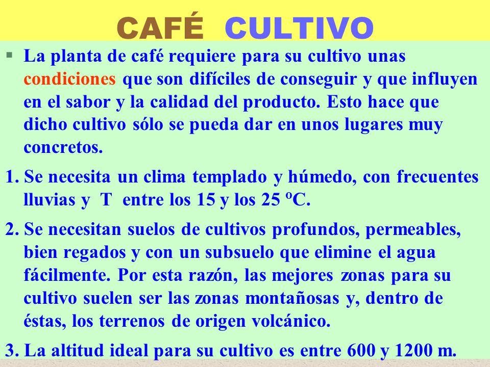 LUIS ROSSI CAFÉ CULTIVO §La planta de café requiere para su cultivo unas condiciones que son difíciles de conseguir y que influyen en el sabor y la ca