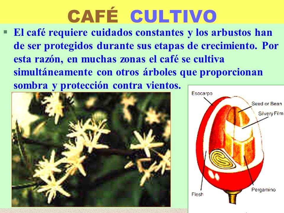 LUIS ROSSI CAFÉ CULTIVO §El café requiere cuidados constantes y los arbustos han de ser protegidos durante sus etapas de crecimiento. Por esta razón,